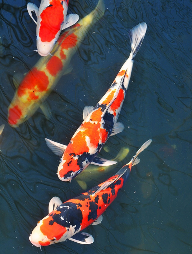 Water in the Garden. Quality Care and Stellar Customer Service Characterize this Full-Service Koi Pond Maintenance Company